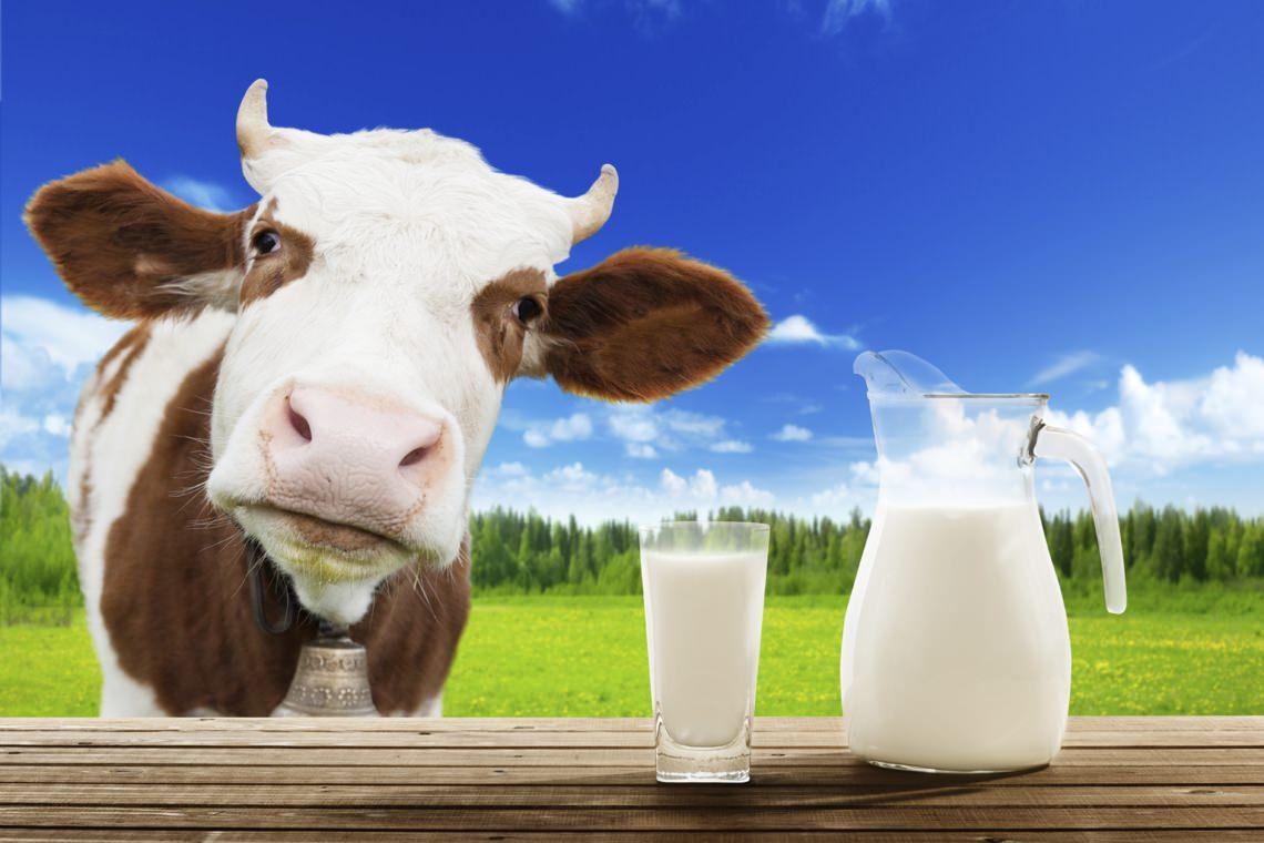 Коровье молоко – самый благостный продукт на Земле